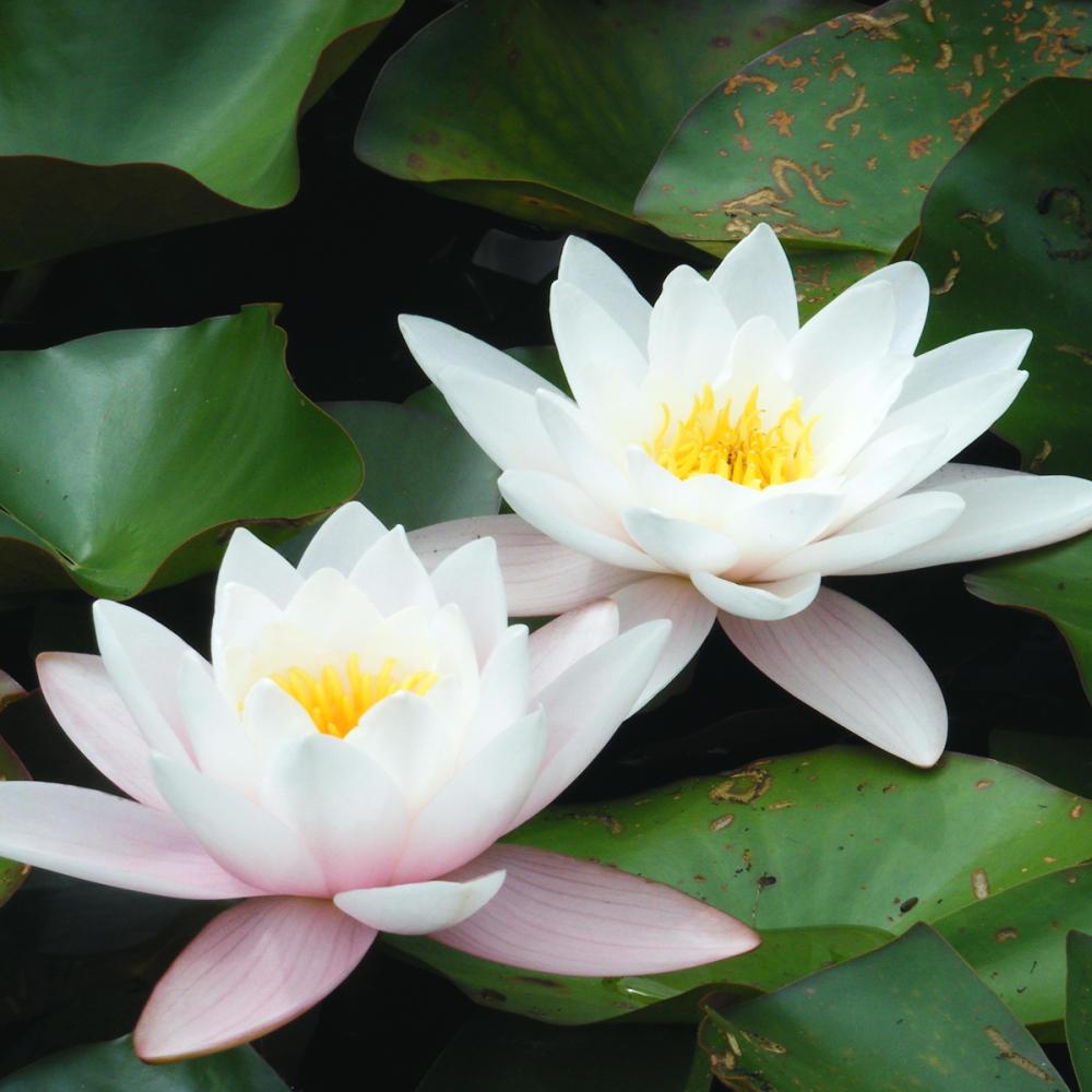10624-white-lotus-flower-dekstop-hd-wallpapers